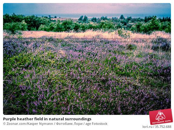 Purple heather field in natural surroundings. Стоковое фото, фотограф Zoonar.com/Kasper Nymann / age Fotostock / Фотобанк Лори