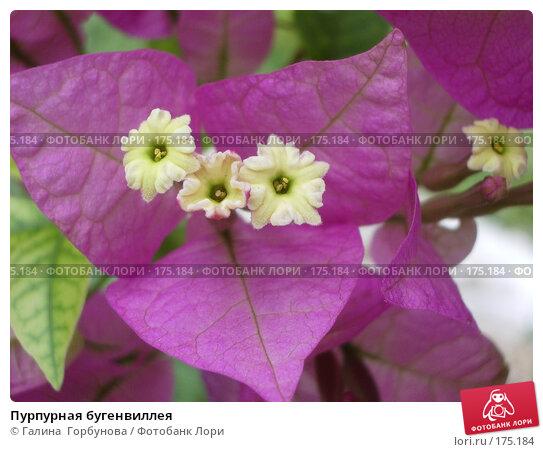 Пурпурная бугенвиллея, фото № 175184, снято 22 июня 2005 г. (c) Галина  Горбунова / Фотобанк Лори