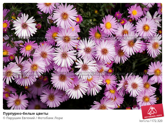 Пурпурно-белые цветы, фото № 172320, снято 19 февраля 2017 г. (c) Парушин Евгений / Фотобанк Лори