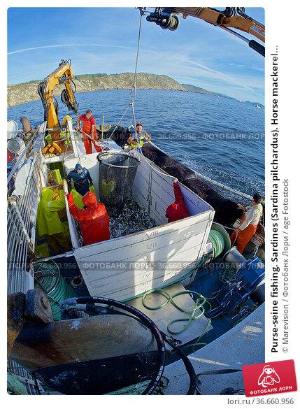 Purse-seine fishing. Sardines (Sardina pilchardus). Horse mackerel... Редакционное фото, фотограф Marevision / age Fotostock / Фотобанк Лори