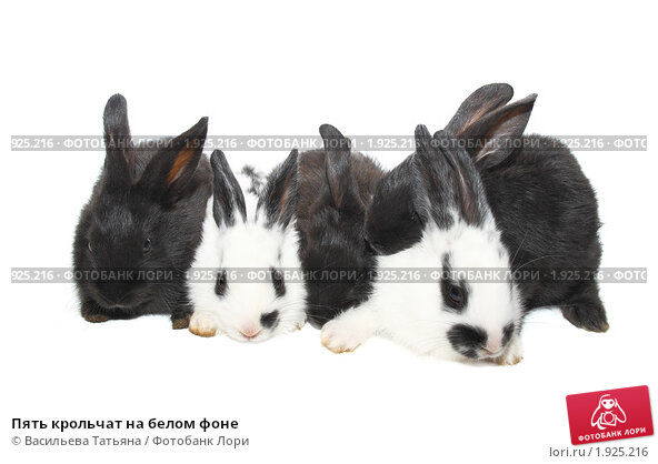 Купить «Пять крольчат на белом фоне», фото № 1925216, снято 3 августа 2010 г. (c) Васильева Татьяна / Фотобанк Лори