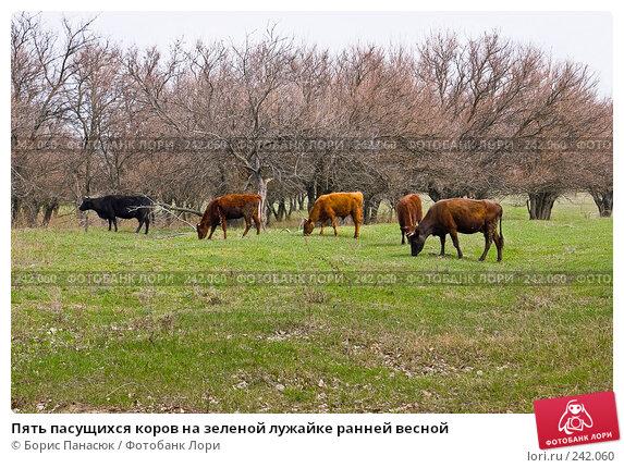 Купить «Пять пасущихся коров на зеленой лужайке ранней весной», фото № 242060, снято 29 марта 2008 г. (c) Борис Панасюк / Фотобанк Лори