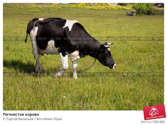 Пятнистая корова, фото № 329428, снято 25 апреля 2017 г. (c) Сергей Васильев / Фотобанк Лори