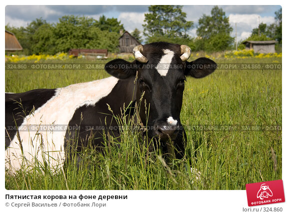 Пятнистая корова на фоне деревни, фото № 324860, снято 13 июня 2008 г. (c) Сергей Васильев / Фотобанк Лори