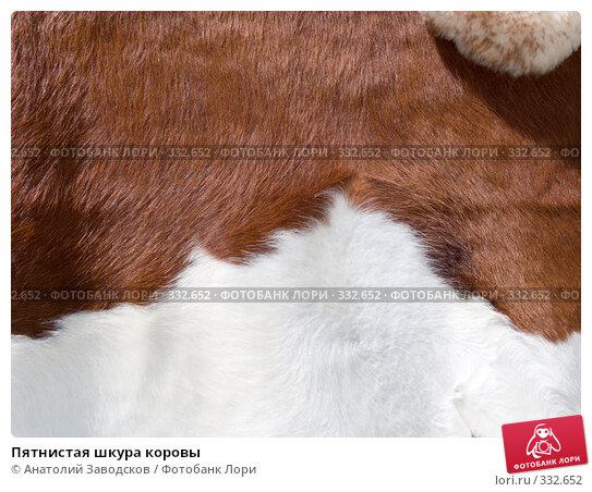 Купить «Пятнистая шкура коровы», фото № 332652, снято 6 июня 2008 г. (c) Анатолий Заводсков / Фотобанк Лори