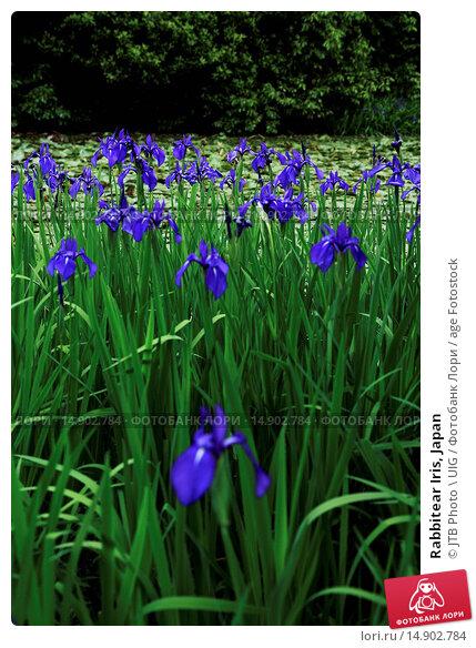 Купить «Rabbitear Iris, Japan», фото № 14902784, снято 18 июня 2018 г. (c) age Fotostock / Фотобанк Лори