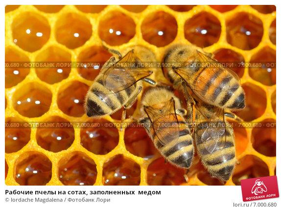 Купить «Рабочие пчелы на сотах, заполненных  медом», фото № 7000680, снято 3 июля 2013 г. (c) Iordache Magdalena / Фотобанк Лори