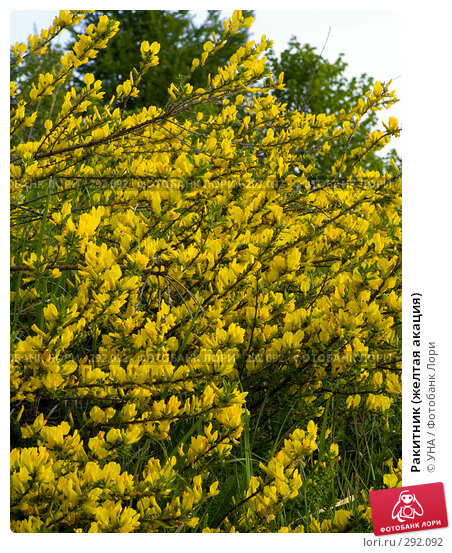 Ракитник (желтая акация), фото № 292092, снято 17 мая 2008 г. (c) УНА / Фотобанк Лори
