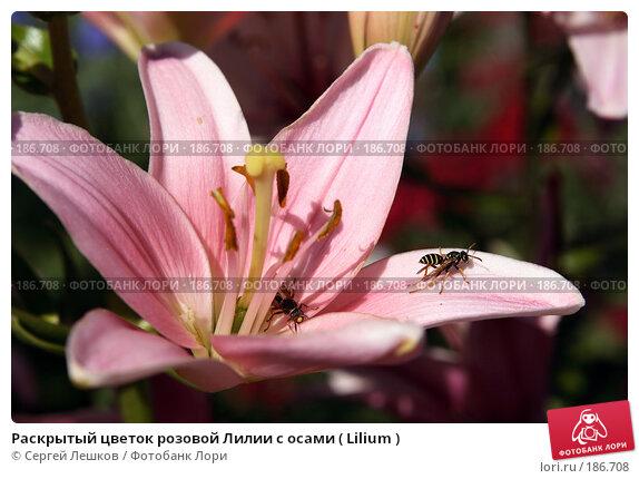 Раскрытый цветок розовой Лилии с осами ( Lilium ), фото № 186708, снято 22 июля 2007 г. (c) Сергей Лешков / Фотобанк Лори