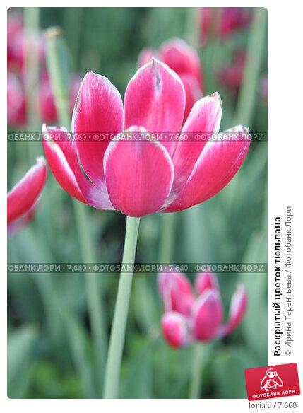 Раскрытый цветок тюльпана, эксклюзивное фото № 7660, снято 1 июня 2006 г. (c) Ирина Терентьева / Фотобанк Лори