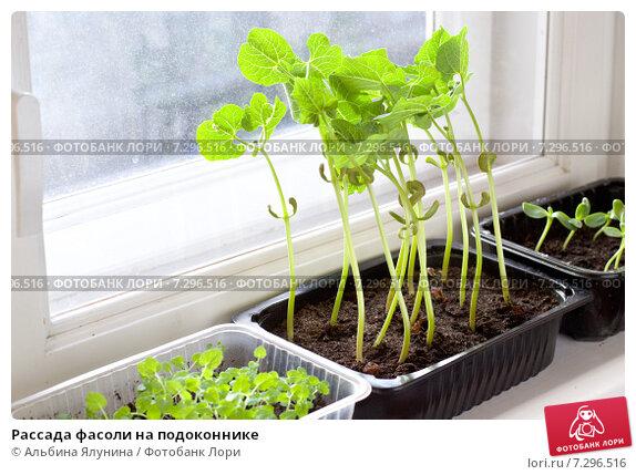 Купить «Рассада фасоли на подоконнике», фото № 7296516, снято 18 апреля 2015 г. (c) Альбина Ялунина / Фотобанк Лори