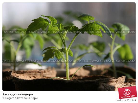 Рассада помидора, фото № 201148, снято 8 апреля 2007 г. (c) Gagara / Фотобанк Лори