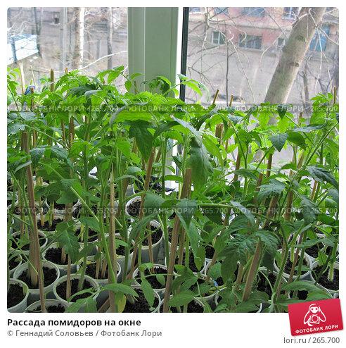 Рассада помидоров на окне, фото № 265700, снято 21 апреля 2008 г. (c) Геннадий Соловьев / Фотобанк Лори