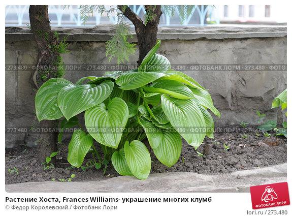 Растение Хоста, Frances Williams- украшение многих клумб, фото № 273480, снято 31 марта 2007 г. (c) Федор Королевский / Фотобанк Лори