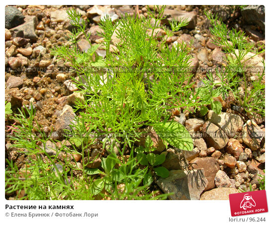 Растение на камнях, фото № 96244, снято 15 июля 2007 г. (c) Елена Бринюк / Фотобанк Лори