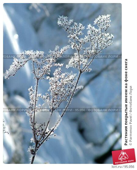 Растения покрытые инеем на фоне снега, фото № 95056, снято 12 февраля 2007 г. (c) Parmenov Pavel / Фотобанк Лори