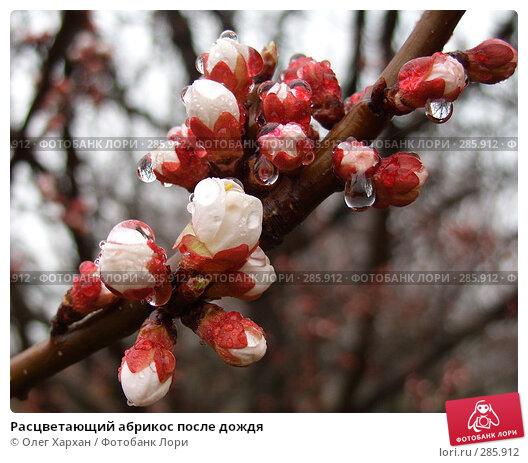 Расцветающий абрикос после дождя, фото № 285912, снято 2 апреля 2008 г. (c) Олег Хархан / Фотобанк Лори