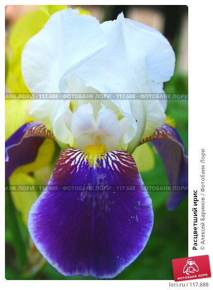 Купить «Расцветший ирис», фото № 117688, снято 24 июня 2007 г. (c) Алексей Баринов / Фотобанк Лори