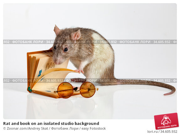 Rat and book on an isolated studio background. Стоковое фото, фотограф Zoonar.com/Andrey Skat / easy Fotostock / Фотобанк Лори
