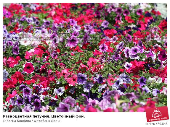 Купить «Разноцветная петуния. Цветочный фон.», фото № 80848, снято 20 июля 2007 г. (c) Елена Блохина / Фотобанк Лори