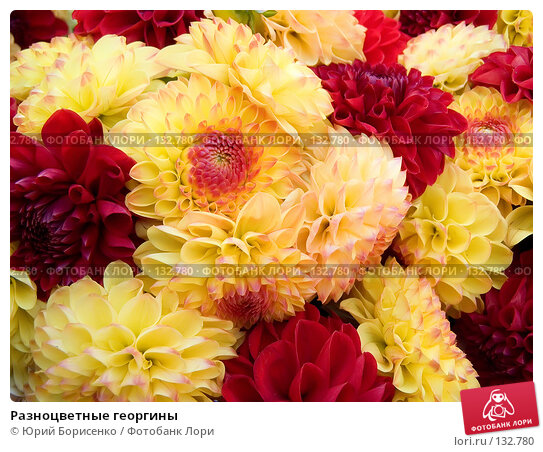 Разноцветные георгины, фото № 132780, снято 20 октября 2007 г. (c) Юрий Борисенко / Фотобанк Лори