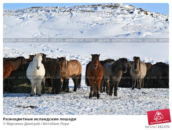 Разноцветные исландские лошади, фото № 242676, снято 3 марта 2008 г. (c) Марченко Дмитрий / Фотобанк Лори