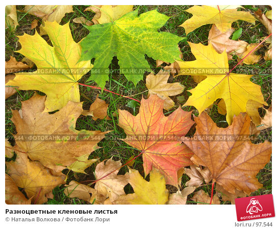 Разноцветные кленовые листья, фото № 97544, снято 3 октября 2007 г. (c) Наталья Волкова / Фотобанк Лори