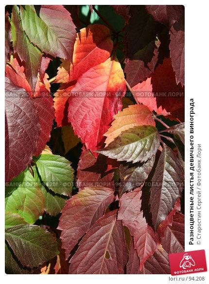 Разноцветные листья девичьего винограда, фото № 94208, снято 30 сентября 2007 г. (c) Старостин Сергей / Фотобанк Лори