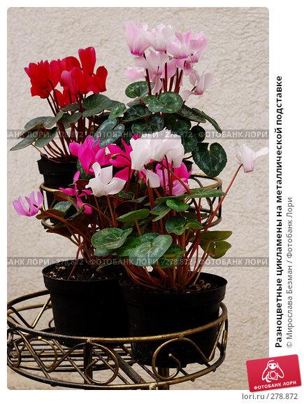 Купить «Разноцветные цикламены на металлической подставке», фото № 278872, снято 16 марта 2008 г. (c) Мирослава Безман / Фотобанк Лори