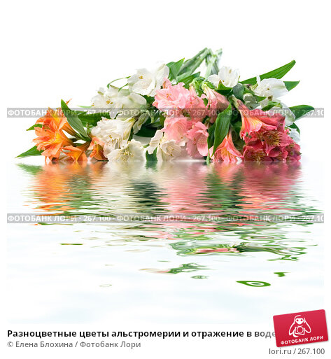 Купить «Разноцветные цветы альстромерии и отражение в воде», фото № 267100, снято 22 апреля 2018 г. (c) Елена Блохина / Фотобанк Лори
