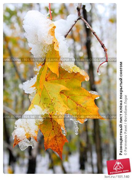 Разноцветный лист клёна покрытый снегом, фото № 101140, снято 16 октября 2007 г. (c) Parmenov Pavel / Фотобанк Лори