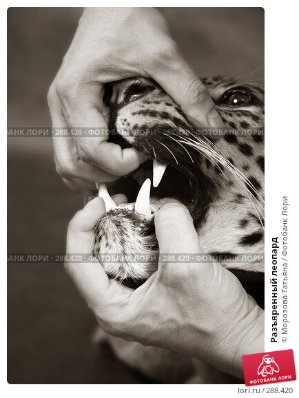 Разъяренный леопард, фото № 288420, снято 3 мая 2008 г. (c) Морозова Татьяна / Фотобанк Лори