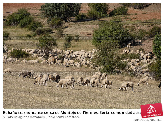 Rebaño trashumante cerca de Montejo de Tiermes, Soria, comunidad autónoma de Castilla y León, Spain, Europe. Стоковое фото, фотограф Tolo Balaguer / easy Fotostock / Фотобанк Лори
