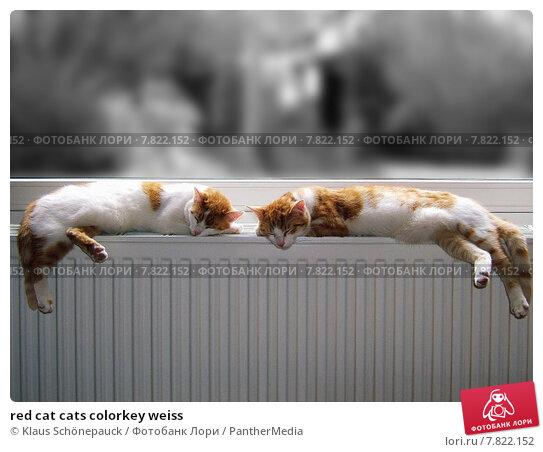 Купить «red cat cats colorkey weiss», фото № 7822152, снято 15 ноября 2019 г. (c) PantherMedia / Фотобанк Лори