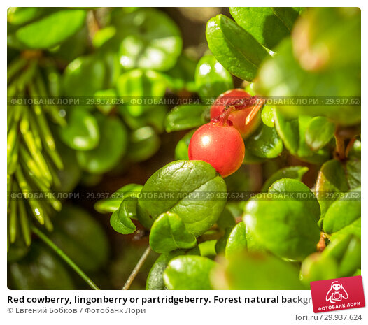 Купить «Red cowberry, lingonberry or partridgeberry. Forest natural background. shallow depth of field. Macro. berries - main source of vitamins in the winter. traditional medicine», фото № 29937624, снято 26 августа 2018 г. (c) Евгений Бобков / Фотобанк Лори