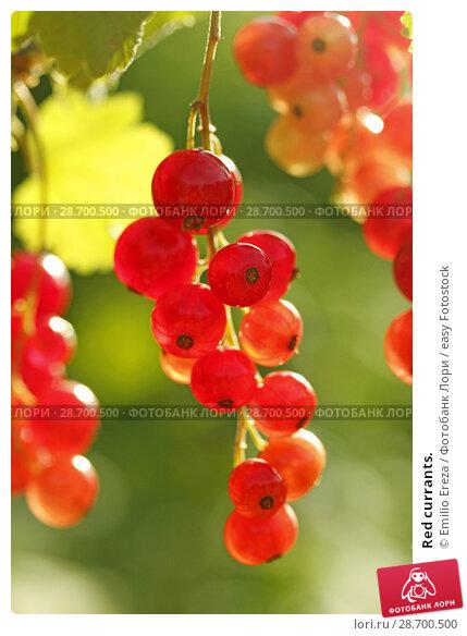 Купить «Red currants.», фото № 28700500, снято 15 июня 2018 г. (c) easy Fotostock / Фотобанк Лори
