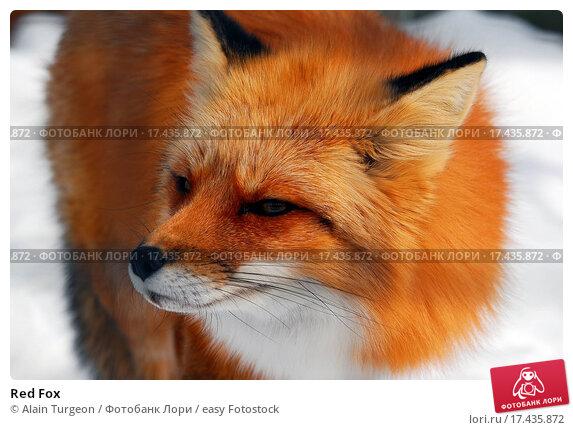 Red fox фото 35778 фотография