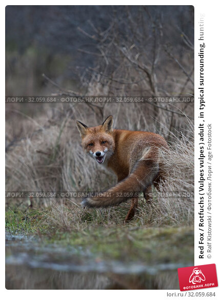 Red Fox / Rotfuchs ( Vulpes vulpes ) adult , in typical surrounding, hunting at a small body of water, looking back over its shoulder, funny, wildlife, Europe. Стоковое фото, фотограф Ralf Kistowski / age Fotostock / Фотобанк Лори
