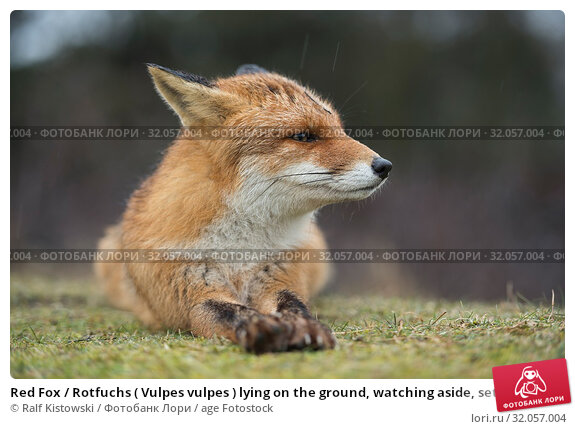 Red Fox / Rotfuchs ( Vulpes vulpes ) lying on the ground, watching aside, setting back its ears, watching concentrated, close-up, rain. Стоковое фото, фотограф Ralf Kistowski / age Fotostock / Фотобанк Лори