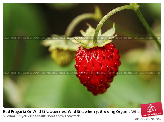 Купить «Red Fragaria Or Wild Strawberries, Wild Strawberry. Growing Organic Wild Strawberry. Ripe Berry In Fruit Garden. Natural Organic Healthy Food Concept.», фото № 28700052, снято 20 июня 2016 г. (c) easy Fotostock / Фотобанк Лори