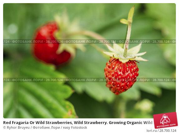 Купить «Red Fragaria Or Wild Strawberries, Wild Strawberry. Growing Organic Wild Strawberry. Ripe Berry In Fruit Garden. Natural Organic Healthy Food Concept.», фото № 28700124, снято 13 июня 2016 г. (c) easy Fotostock / Фотобанк Лори