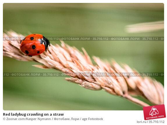 Red ladybug crawling on a straw. Стоковое фото, фотограф Zoonar.com/Kasper Nymann / age Fotostock / Фотобанк Лори