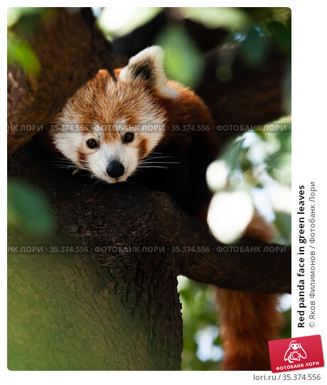 Red panda face in green leaves. Стоковое фото, фотограф Яков Филимонов / Фотобанк Лори