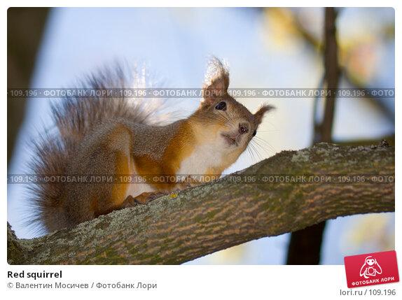 Red squirrel, фото № 109196, снято 13 мая 2007 г. (c) Валентин Мосичев / Фотобанк Лори