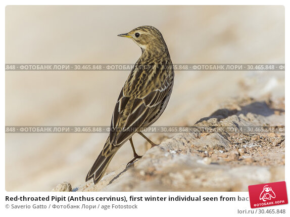 Red-throated Pipit (Anthus cervinus), first winter individual seen from back. Стоковое фото, фотограф Saverio Gatto / age Fotostock / Фотобанк Лори