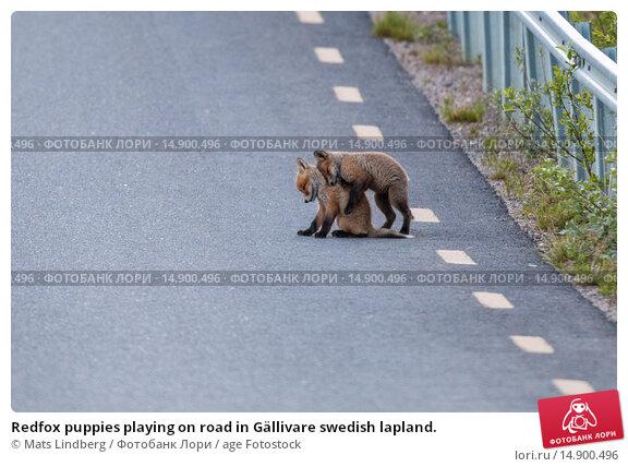 Купить «Redfox puppies playing on road in Gällivare swedish lapland.», фото № 14900496, снято 19 июня 2018 г. (c) age Fotostock / Фотобанк Лори