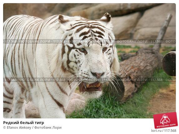 Редкий белый тигр, фото № 117568, снято 13 июля 2006 г. (c) Efanov Aleksey / Фотобанк Лори