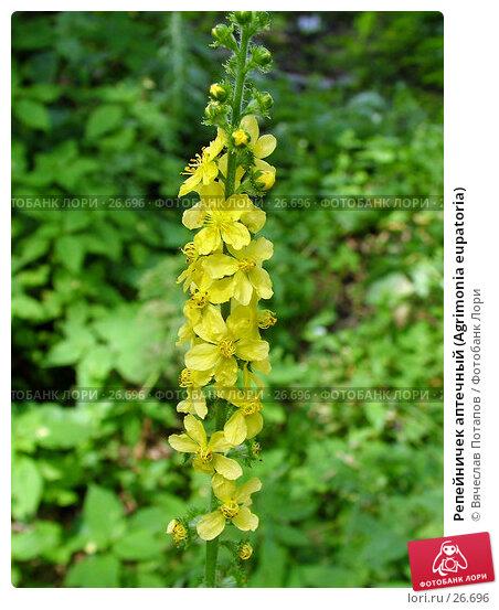 Репейничек аптечный (Agrimonia eupatoria), фото № 26696, снято 23 июля 2004 г. (c) Вячеслав Потапов / Фотобанк Лори