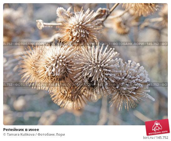 Купить «Репейник в инее», фото № 145752, снято 12 декабря 2007 г. (c) Tamara Kulikova / Фотобанк Лори