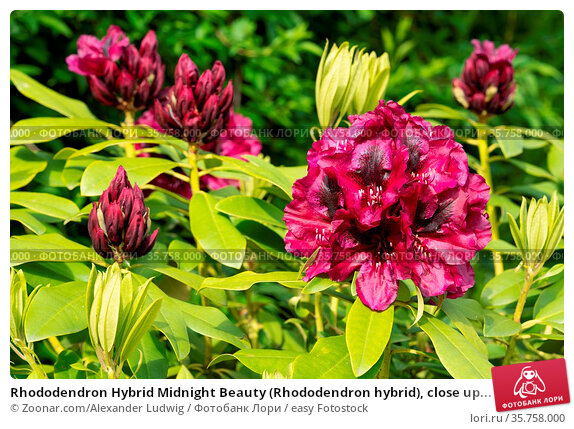 Rhododendron Hybrid Midnight Beauty (Rhododendron hybrid), close up... Стоковое фото, фотограф Zoonar.com/Alexander Ludwig / easy Fotostock / Фотобанк Лори